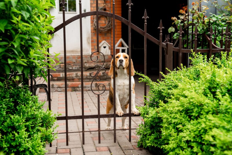Dog Breeds Beagle The Iron Gate In The Garden Of A Country House